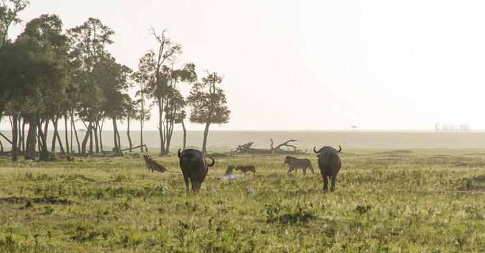 buffalos-chase-lions