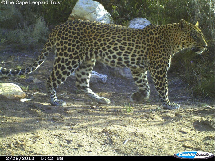 cape-leopard-trust