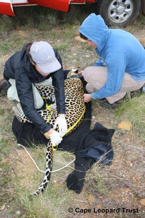 cape-leopard
