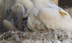 cape-vulture-chick