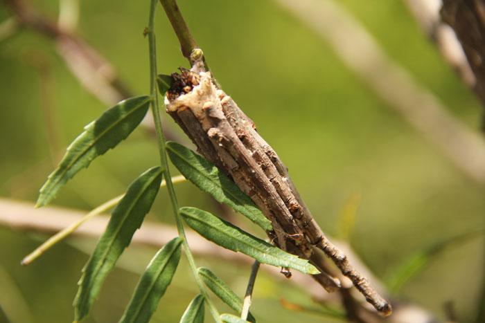 catepillar-cocoon-kenya