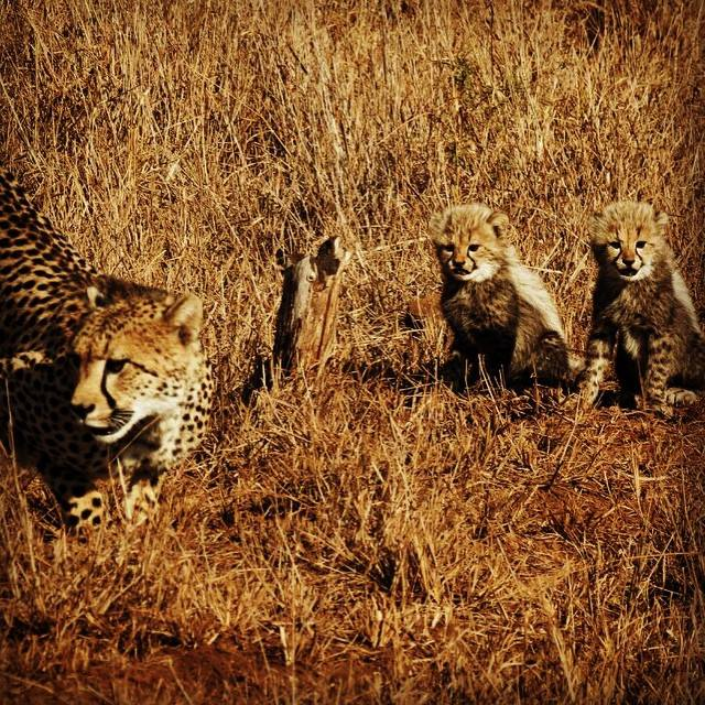 cheetah-cubs-at-rhino-river-lodge
