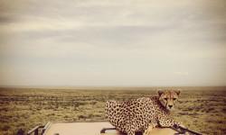 cheetah-on-car