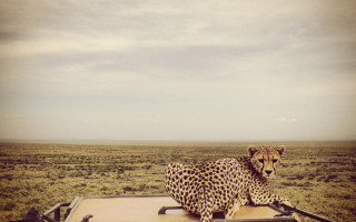 cheetah-on-car
