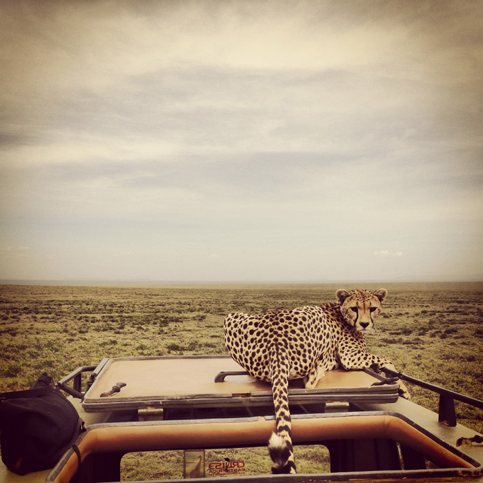 Cheetahs on the roof - Africa Geographic
