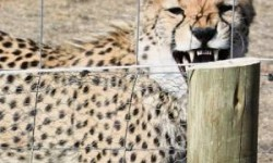 One of the cheetahs in an enclosure at the KwaCheetah breeding facility. Photo supplied for News24.