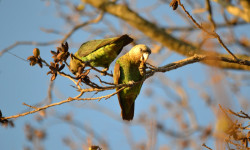 A pair of wild Cape parrot, Poicephalus robustus, dine on fruits. © Colleen Downs/Willem Coetzer at al/PLoS ONE 2015