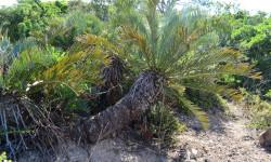 10.Encephalartos trispinosus in the wild