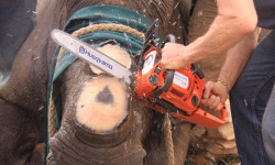 Dr Kock sawing off the rhino horn