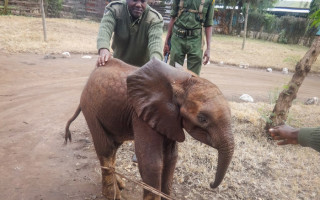 This baby elephant, now named Losoito, survived the massacre and was sent to an elephant orphanage, and the ultimate goal will be to return him to the wild