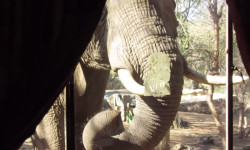 elephant-knocks-on-window-in-kruger