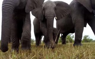 elephants-encounter-gopro-camera