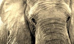 free-roaming-elephant