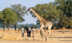 giraffe-on-walking-safari