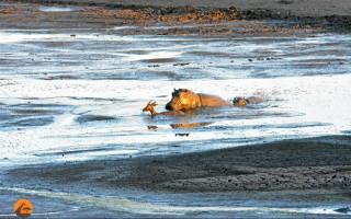 hippo-starts-to-attack-impala