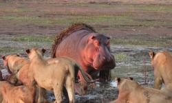 hippo-versus-lions-zambia