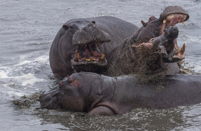 hippos attacking baby hippo hwanga - Pictures Of Hippos