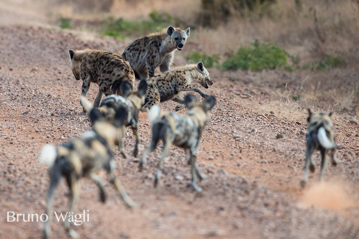 hyenas-and-wild-dogs-at-kafunta