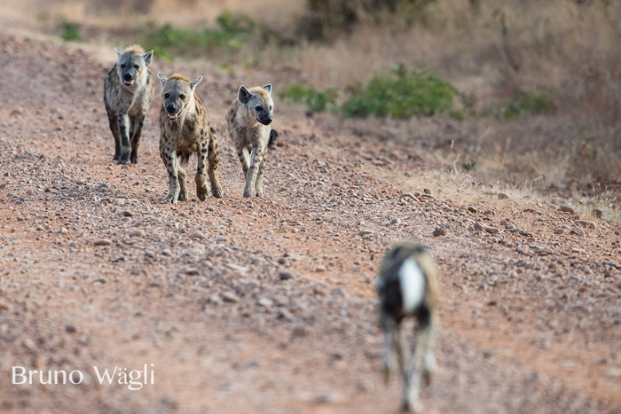 hyenas-at-kafunta