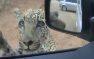 leopard-car-attach