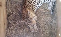 leopard-in-carrier