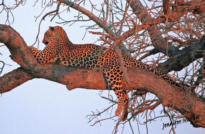 leopard-in-tree
