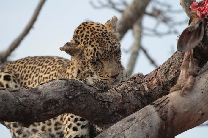 leopard-tree-branch