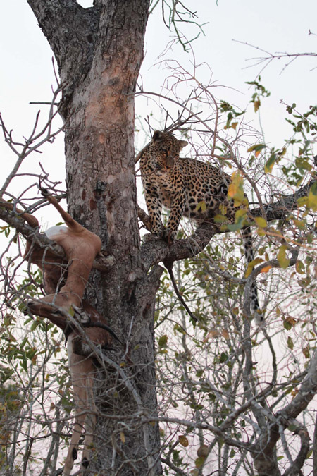 leopard-tree-kill