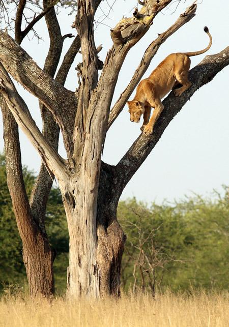 lion-climbs-down-tree-in-serengeti