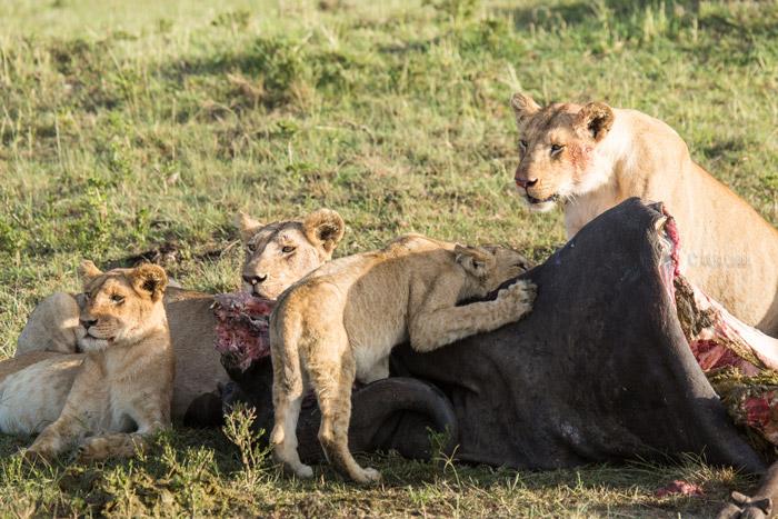 lion-cub-enjoys-feast