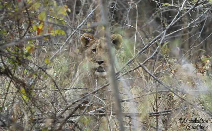 lion-cub-in-bushes