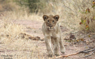 lion-cub-walking