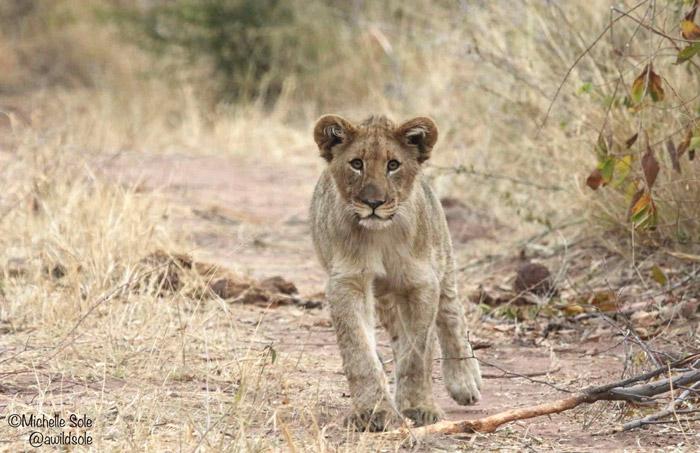 lion-cub-walking