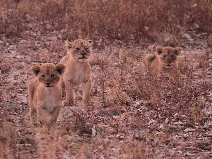 lion-cubs-cheetah-plains
