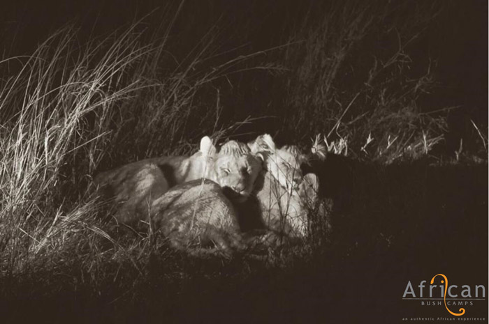 lion-cubs-safe-in-hwange