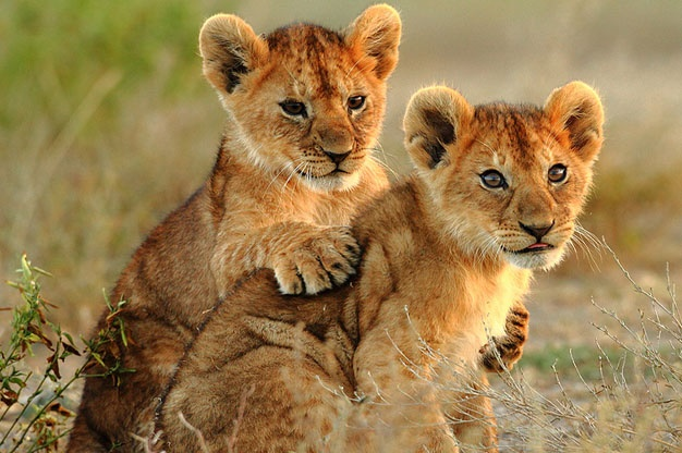 5 lies you need to stop believing about the lion cub for Immagini leone hd