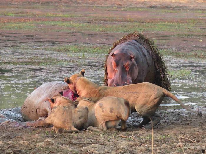 lion-hippo-kill