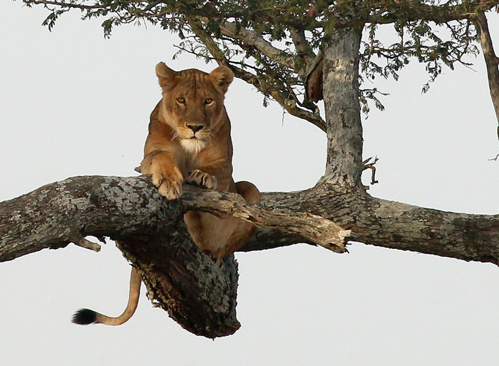 lion-relaxes-on-branch-of-tree