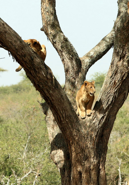 lion-stands-between-branches