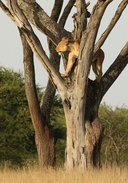 lion-stands-in-tree