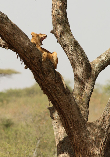 lion-yawns-while-up-in-a-tree