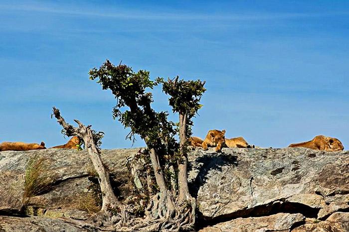 lions-at-ngorogoro-reserve