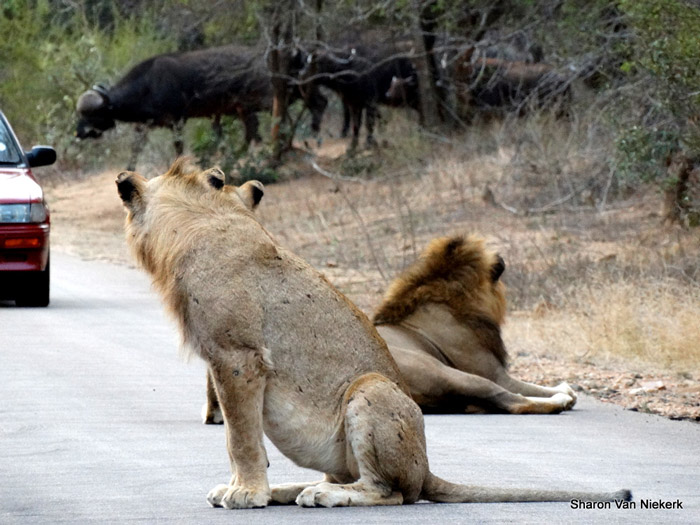lions-see-buffalo-coming-on-road