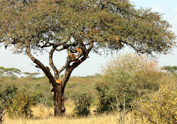 We counted seven lions up this tree in the Serengeti.
