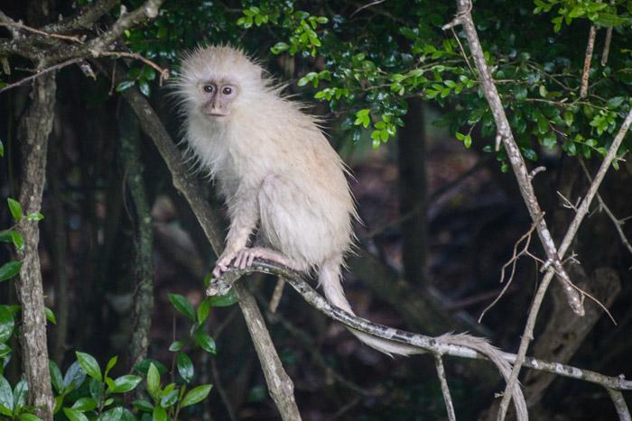 monkey-transkei