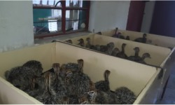 Ostrich chicks that have been removed from the hatcher