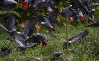 African Grey Parrots descend to the ground at the Aikongo forest clearing, northwest of the Lomami Park. © A Bernard