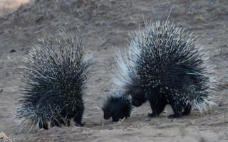 porcupine-family