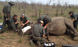 relocating-rhinos