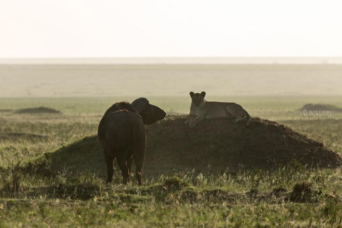 remaining-lion-versus-buffalo